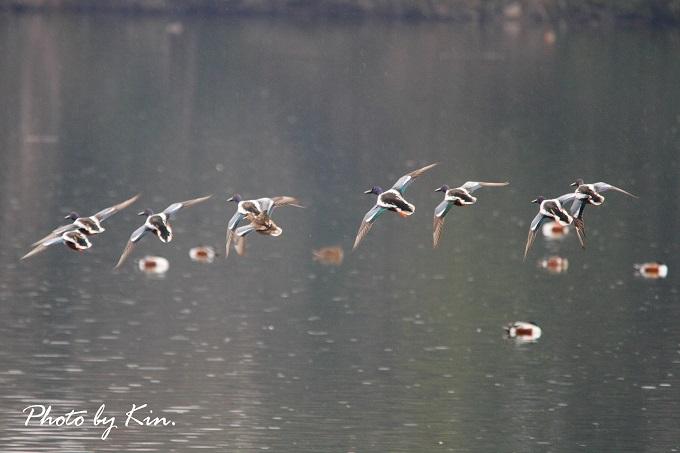 ○池のオシドリ観察