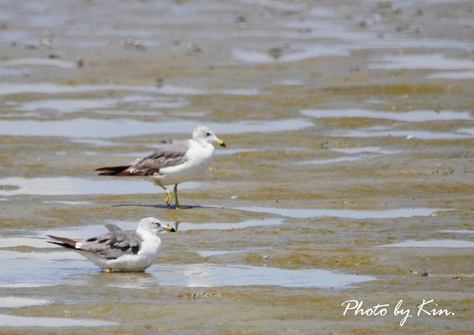干潟の野鳥~ウミネコ~