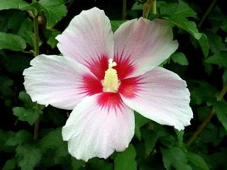 150721_3325家の周りの花壇に咲いたムクゲVGA