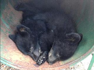 150712_カナダ・バンクーバー島で保護された子熊のジョーダンとアテナ002VGA