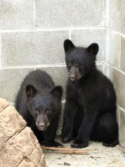150712_カナダ・バンクーバー島で保護された子熊のジョーダンとアテナ003縦VGA