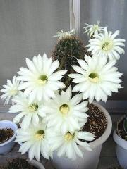 150725_3342今朝の親サボテンの花達zoomVGA