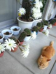 150725_3345今朝のサボテンの花達とトラ美ちゃんwideVGA