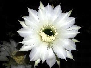 150725_3347今夜開いた子サボテンの花VGA