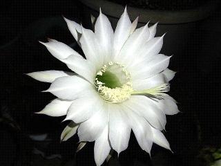 150725_3348今夜開いた子サボテンの花VGA
