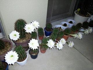 150820_3400今夜開いたサボテンの花達wideVGA