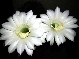 150820_3401今夜開いたサボテンの花達zoomVGA