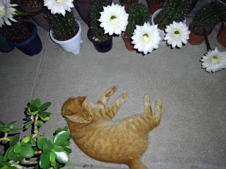 150820_3404トラ美とサボテンの花達VGA