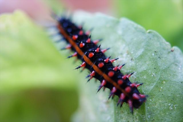 よく見るととてもかわいい大きなツマグロヒョウモンの幼虫