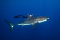 swimming-with-great-whites-made-ocean-popular.jpg