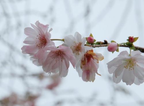 水沼駅十月桜