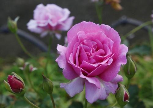 可愛い色のバラ