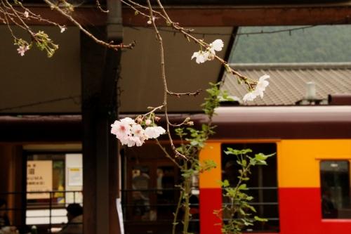 トロッコ電車と桜