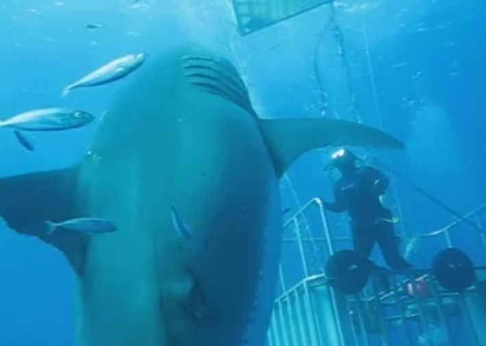 超巨大ホホジロザメの動画が海外で話題に 「撮影された中では史上最大の大きさ」