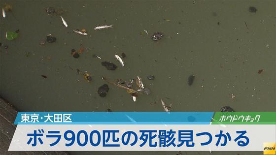 東京・大田区の呑川でボラ900匹の死骸が見つかる