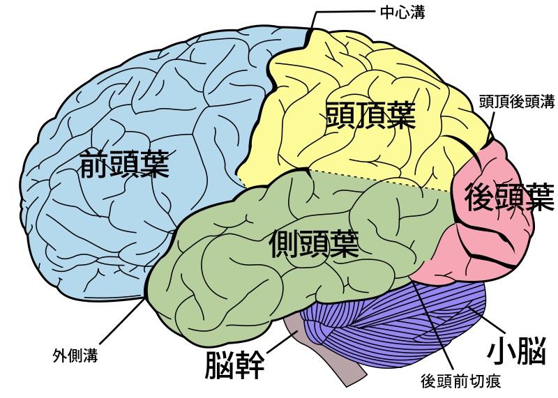 人間の「脳の培養」に成功…アメリカ・オハイオ州立大学研究所