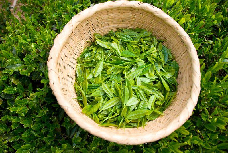 【トクホ】海外では販売中止…高濃度茶カテキン茶は危険!脂肪燃焼もウソ?肝障害の恐れ
