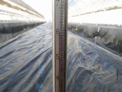 [写真]熱消毒中の黒マルチを張った本圃ハウスの高設ベッド(温度計の目盛りは60度)