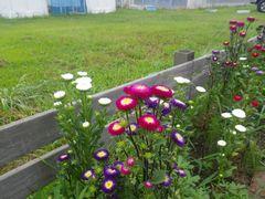 [写真]受付ハウス前の花壇に咲いた色とりどりのアスター