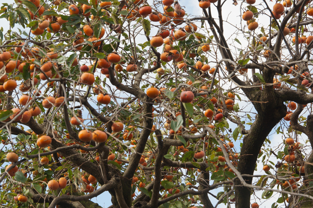 今年は柿の実がイッパイ