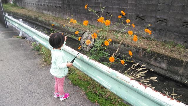 日野用水の際に咲いたコスモス