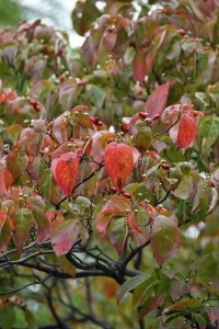 Autumn Leaves of Dogwood Tree