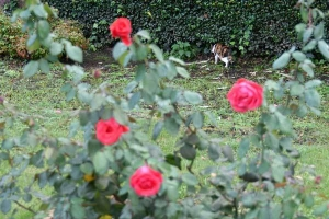 Kay The Cat and Roses
