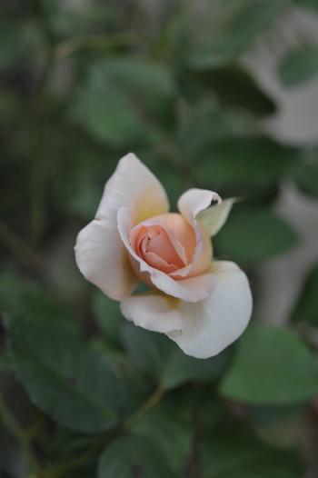 roses20181023-1.jpg