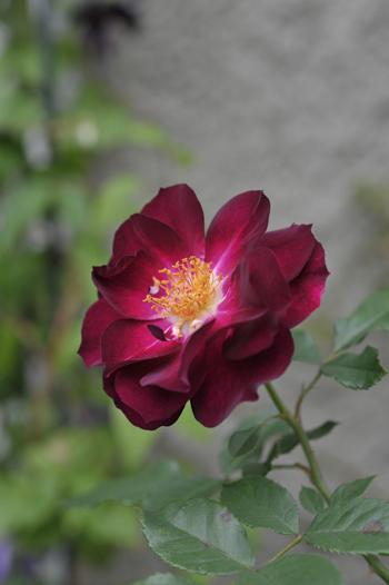 roses20181023-10.jpg