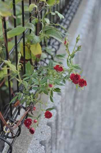 roses20181023-2.jpg