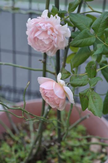 roses20181023-3.jpg