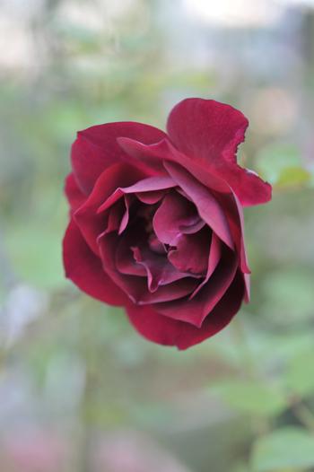 roses20181023-4.jpg