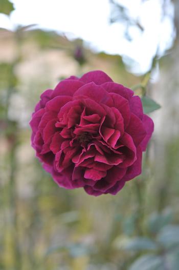 roses20181023-5.jpg