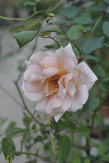 roses20181023-6.jpg