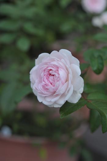 roses20181023-7.jpg