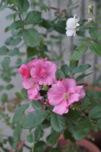 roses20181023-8.jpg