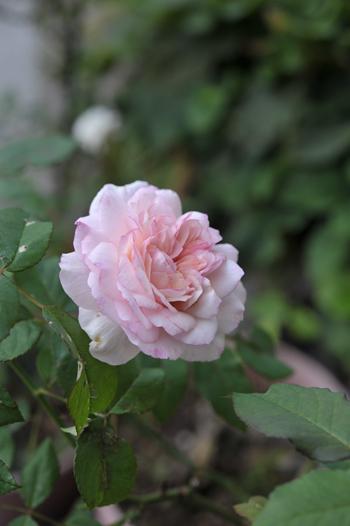 roses20181023-9.jpg