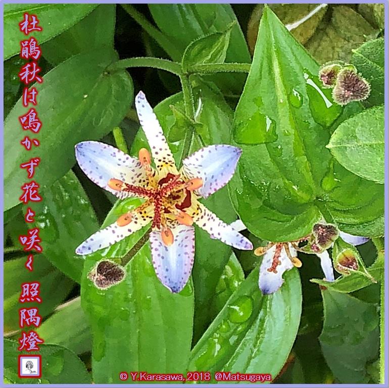 181015杜鵑青紫LRG