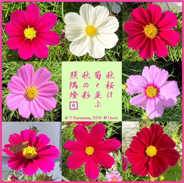 181020秋桜各種LRG