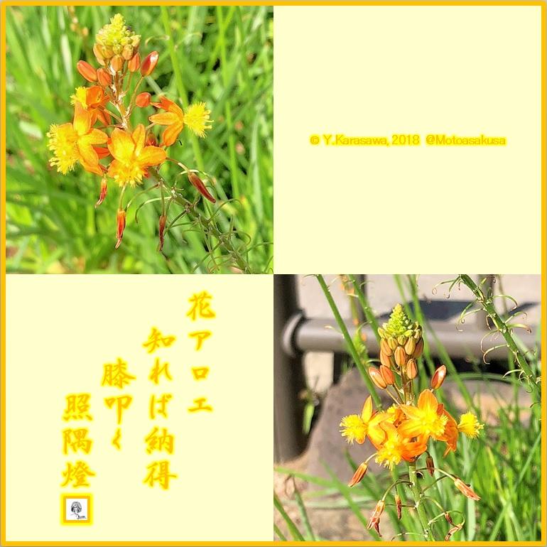 181021花アロエLRG
