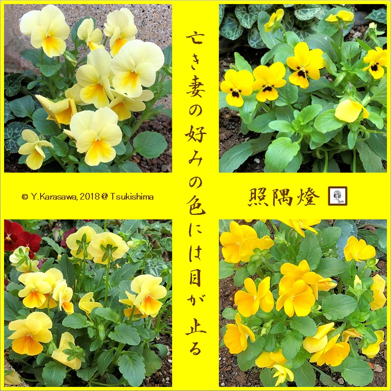 181025ビオラ黄色LRG