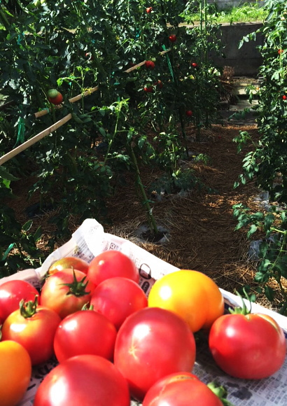 畑でトマト収穫
