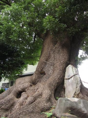 智方神社のクスノキ