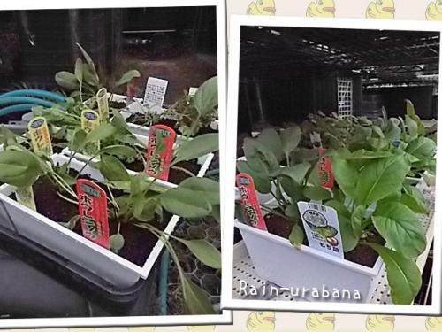 野菜苗を植えろ♪植えろ♪