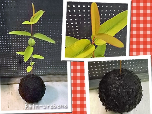 Corymbia ptychocarpa スワンプ・ブラッドウッド